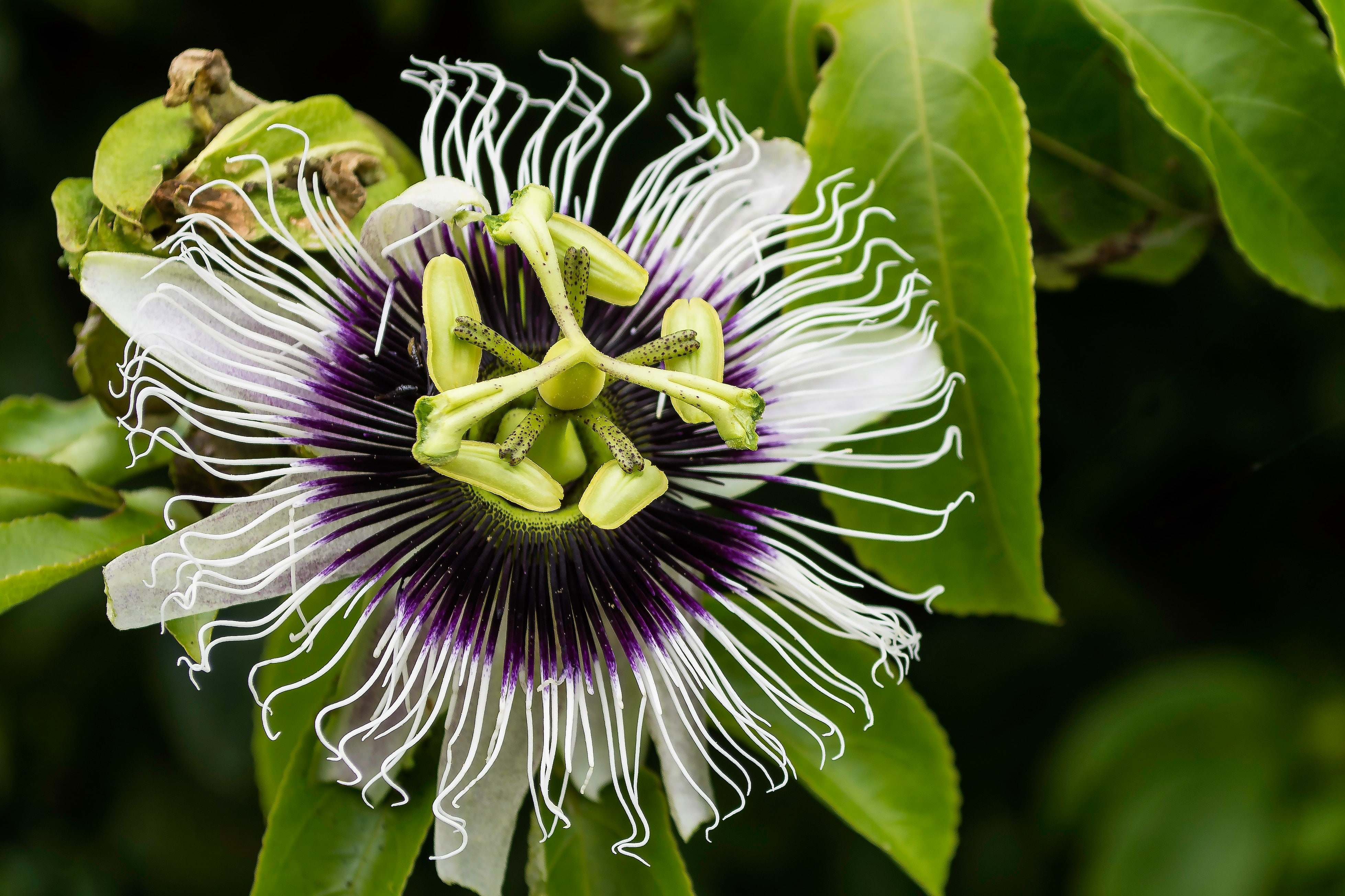 Passion fruit flower photo BOFFO